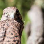 Il gheppio the hawk Frasassi